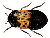 חיפושית המזווה(1)
