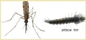 יתוש אנופלס