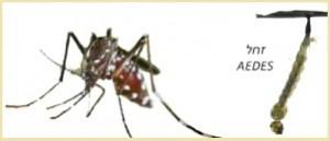 יתוש הנמר האסיאתי
