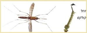 יתוש קולקס