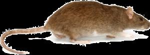 norwayrat