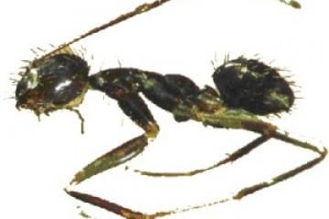 אצנית ארוכת מחוש – Paratrechina longicornis