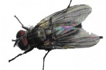 זבוב הבית הקטן-Fannia canicularis