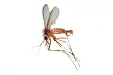 זבוב החול -phlebotomus spp