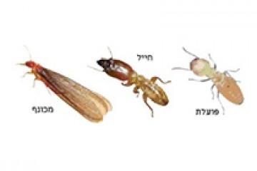 טרמיטים – Lsoptera