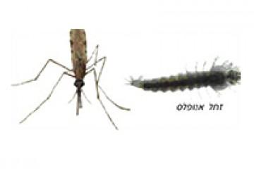 יתוש אנופלס – anopheles spp