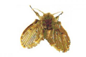 יתוש עש – psychodidae