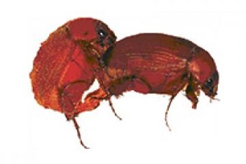 מלדרה מטרידה (חומייני) – Maladera matrida