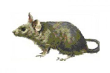 עכבר הבית – Mus musculus