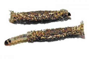 עש הבגדים בונה הנרתיק – Tinea pellionella
