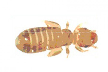 פסוקאים – Psocoptera