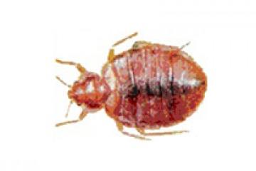 פשפש המיטה – Cimex lectularius