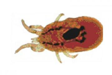 קרציונים – Dermanyssus gallinae