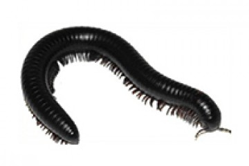 רב רגל שחור – Diplopoda