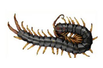 נדל ארסי – Scolopendra cingulata