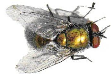 זבוב בוהקן ירוק -Lucilia sericata