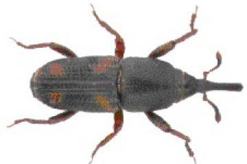 חדקונית האורז – Sitophilus oryzae