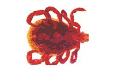 קרציית הכלב-Rhipicephalus sanguineus