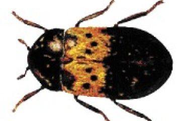 חיפושית המזווה – Dermestes lardarius