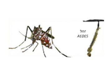 יתוש הנמר האסיאתי – aedec albopistuc