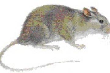 חולדת העליות (חולדה מצויה) – Rattus rattus