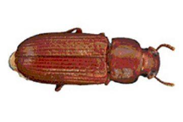 חיפושית (הקמח) הערמונית – Triboluum castaneum