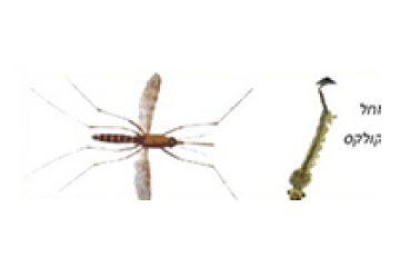 יתוש קולקס – Culex pipiens