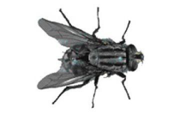 זבוב שחמטן – Sarcophaga spp
