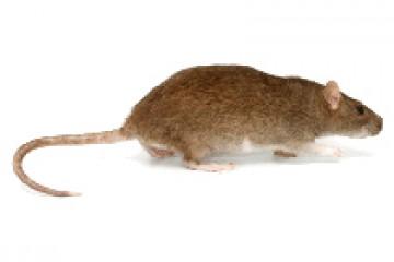 חולדה נורבגית (חולדת החוף) – Rattus norvegicus